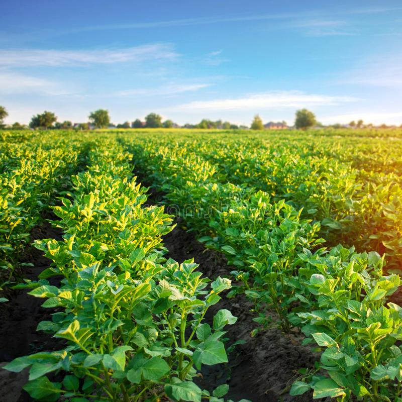 Potato plantations grow in the field. vegetable rows. farming, agriculture. Landscape with agricultural land. crops stock photography