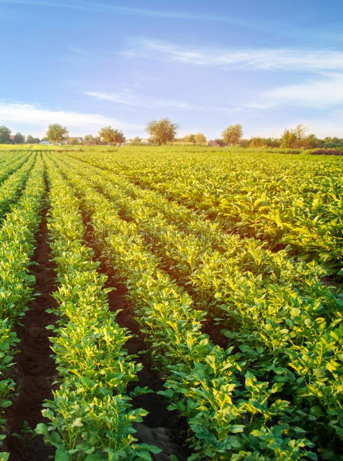 Potato plantations grow in the field. vegetable rows. farming, agriculture. Landscape with agricultural land. crops.  stock images