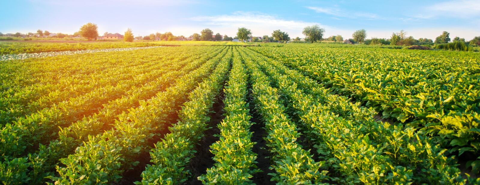 Potato plantations grow in the field. vegetable rows. farming, agriculture. Landscape with agricultural land. crops. Banner.  stock image