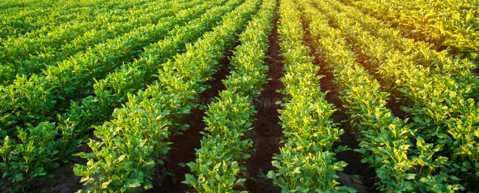 Potato plantations grow in the field. vegetable rows. farming, agriculture. Landscape with agricultural land. crops. Banner.  royalty free stock images