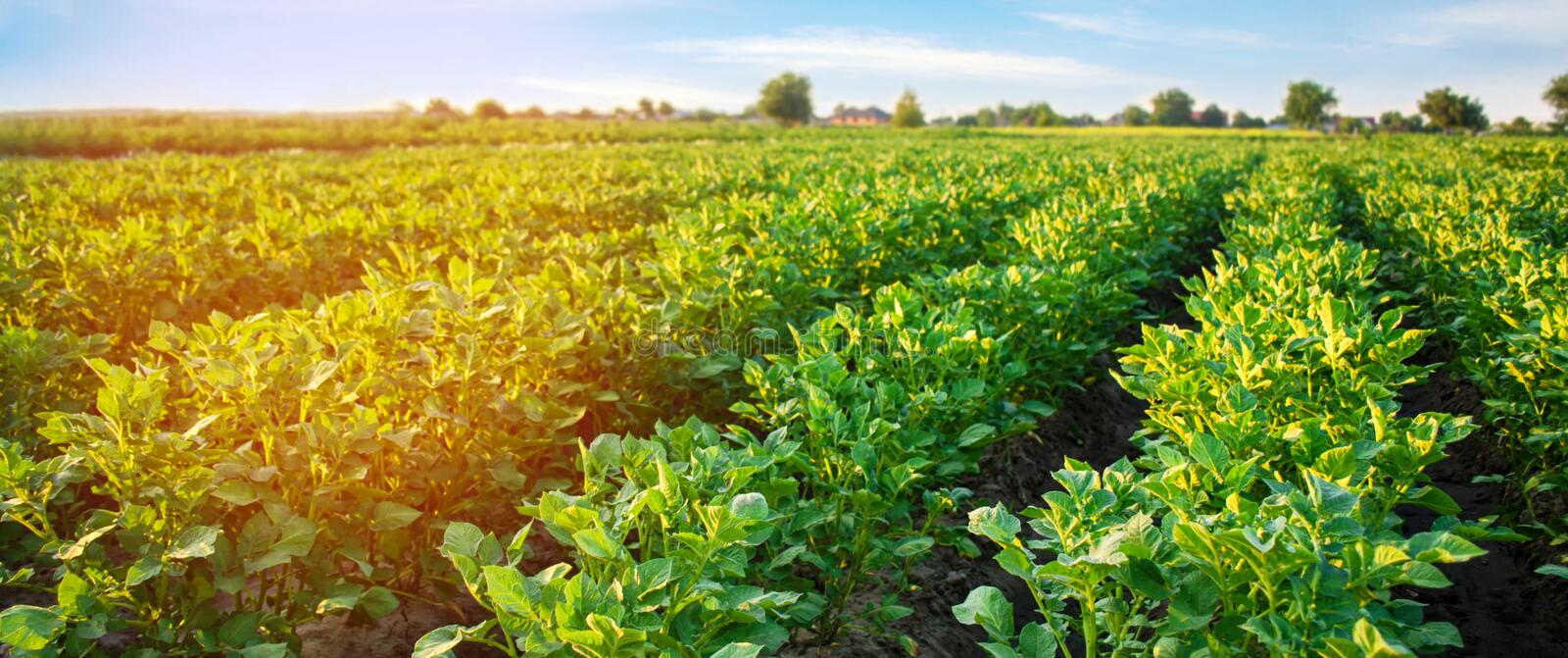 Potato plantations grow in the field. vegetable rows. farming, agriculture. Landscape with agricultural land. crops. Banner royalty free stock photo