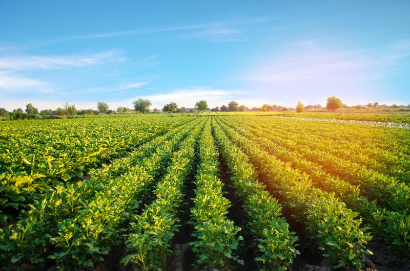 Potato plantations grow in the field. vegetable rows. farming, agriculture. Landscape with agricultural land. crops.  stock photography