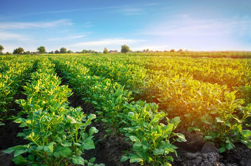 Potato plantations grow in the field. vegetable rows. farming, agriculture. Landscape with agricultural land. crops.  stock photo