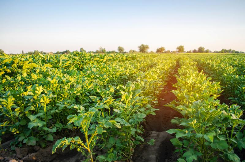 Potato plantations grow in the field. vegetable rows. farming, agriculture. Landscape with agricultural land. crops.  royalty free stock images
