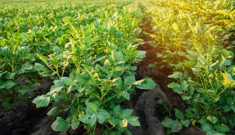 Potato plantations grow in the field. vegetable rows. farming, agriculture. Landscape with agricultural land. crops. selective foc. Us royalty free stock image