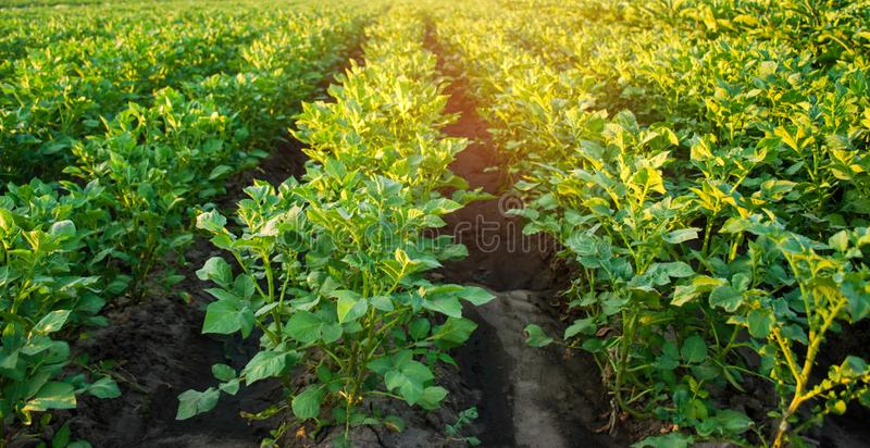 Potato plantations grow in the field. vegetable rows. farming, agriculture. Landscape with agricultural land. crops. selective foc. Us stock photography