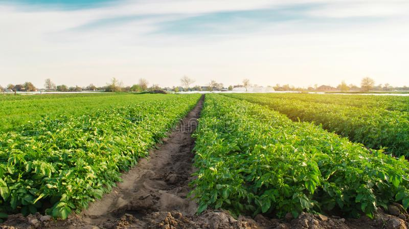 Potato plantations are growing in the field. Organic vegetables. Beautiful agricultural landscape. Farming Agriculture. Selective royalty free stock photography