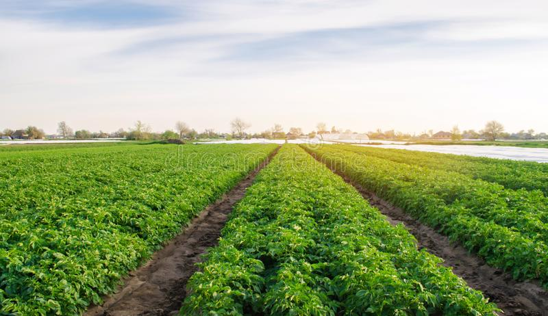 Potato plantations are growing in the field. Organic vegetables. Beautiful agricultural landscape. Farming Agriculture. Selective. Focus royalty free stock photography