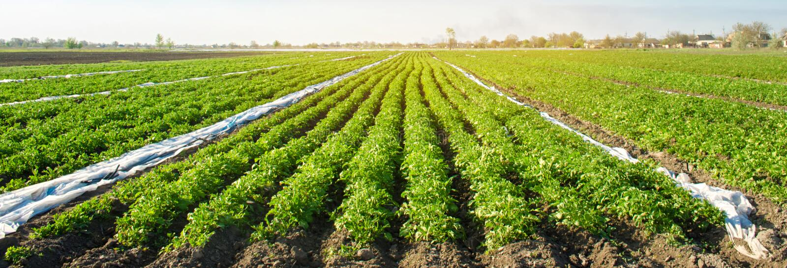 Potato plantations are growing on the field on a sunny day. Beautiful agricultural landscape. Growing organic vegetables. Agriculture. Farming. Selective focus stock image