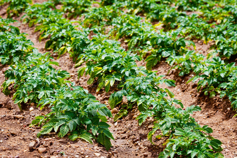 Potato Planting Royalty Free Stock Photography