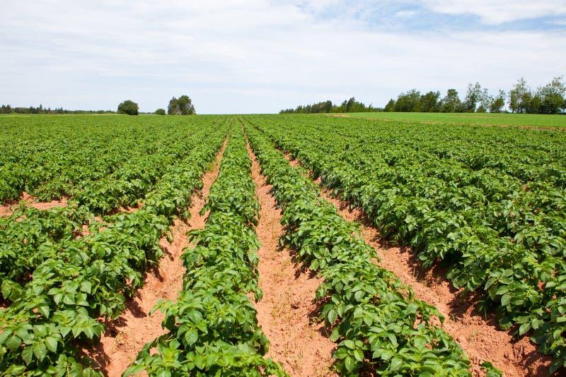 Download Potato Plants Royalty Free Stock Photography - Image: 24200937