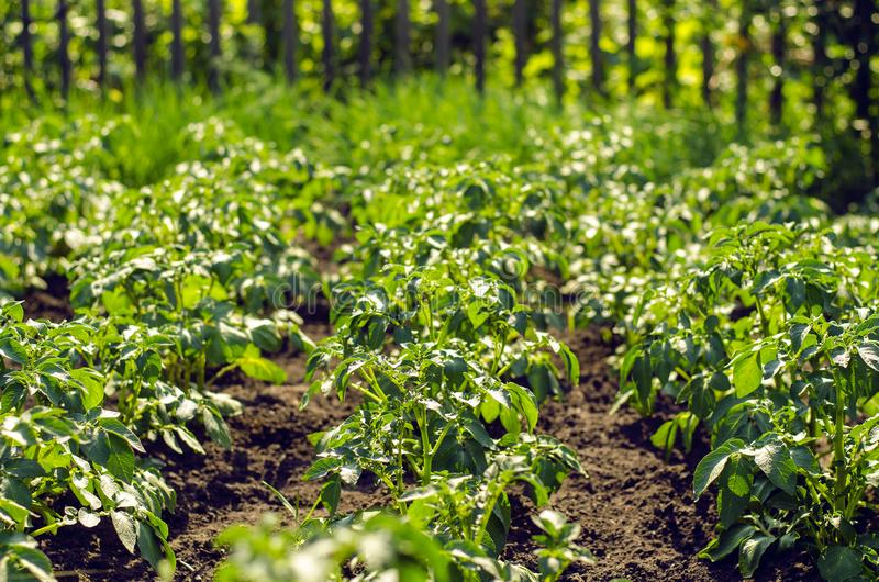 Potato plants field. stock photos