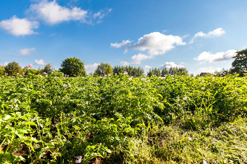 Potato plants with flowers at the plantation in sunny day stock photos