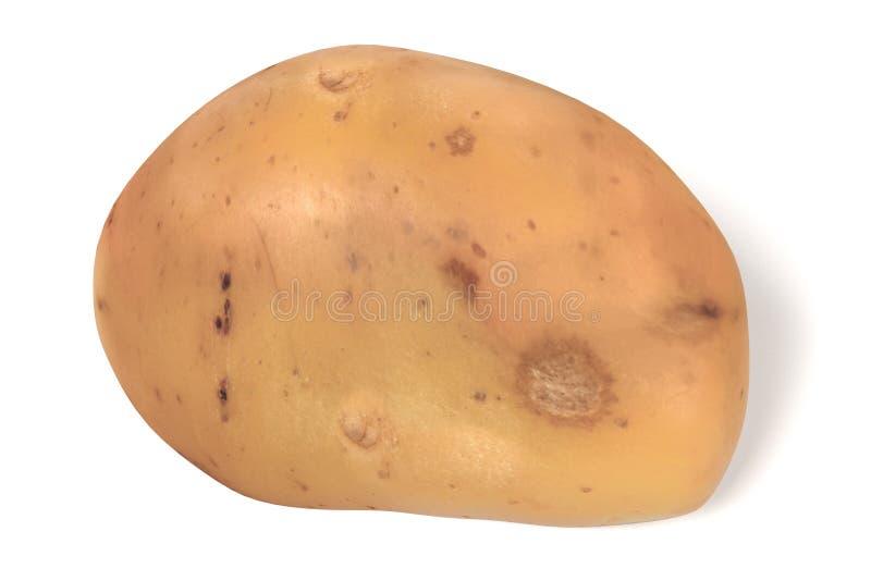 Potato. Realistic 3d render of potato vector illustration