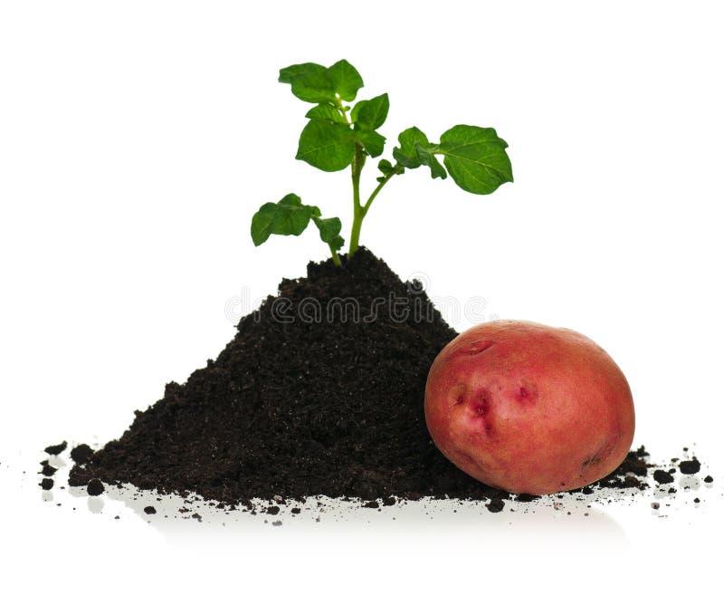 Potato in soil royalty free stock photography