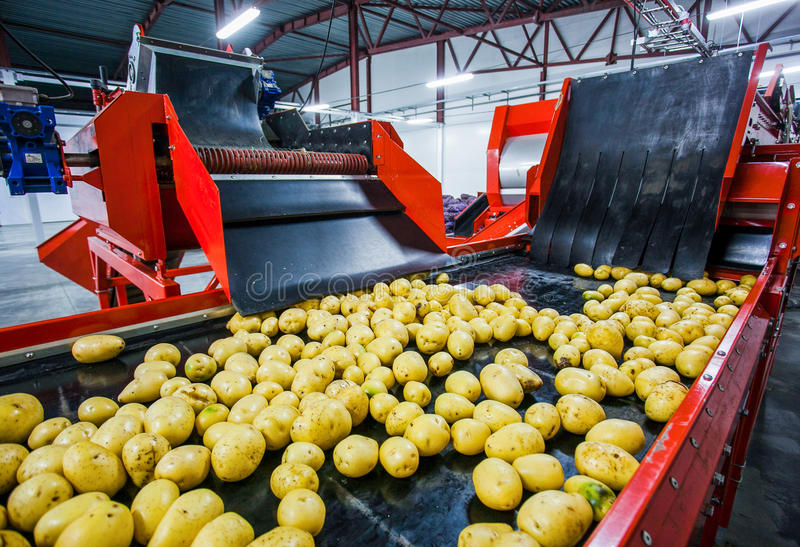 Potato sorting, processing and packing factory stock photo