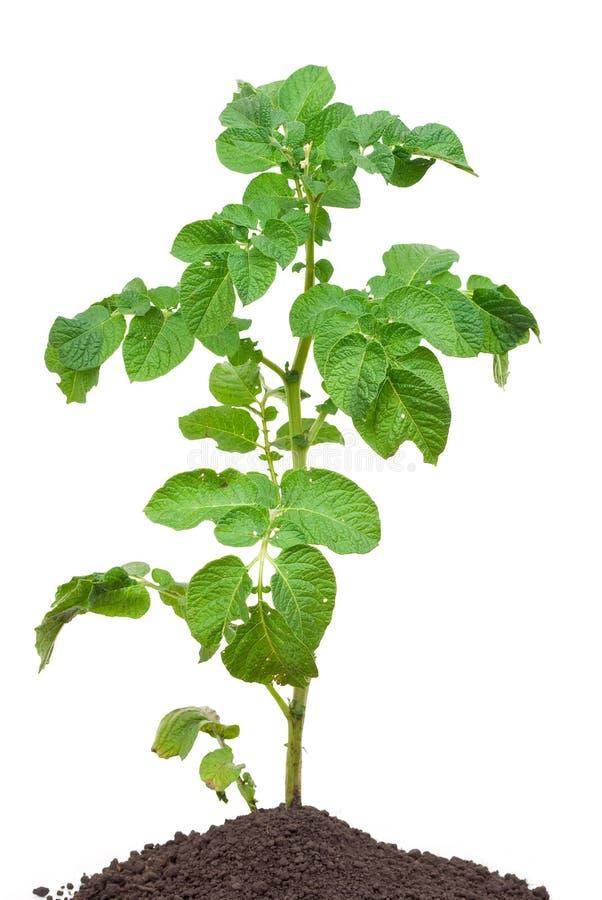 Potato Sprout Royalty Free Stock Photo