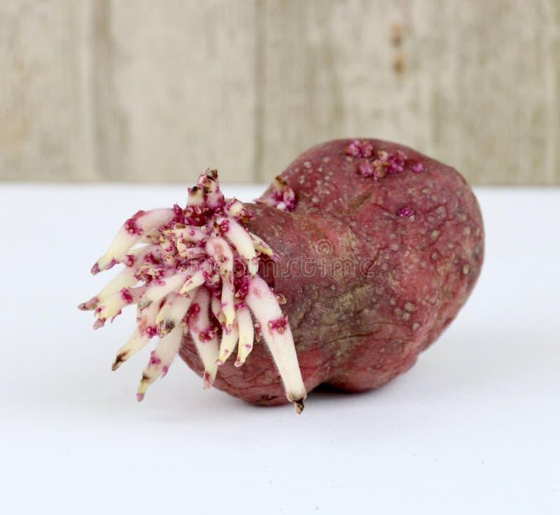 Potato Sprouts stock photo
