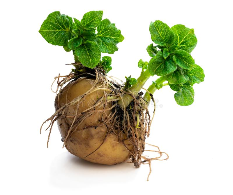 Potato tuber with new green sprouts isolated on white. Ready to plant. Potato  tuber with new green sprouts isolated on white. Ready to plant stock photo