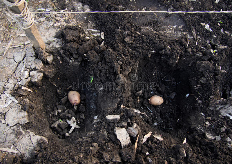 Potato tubers placed in the excavation pits stock image