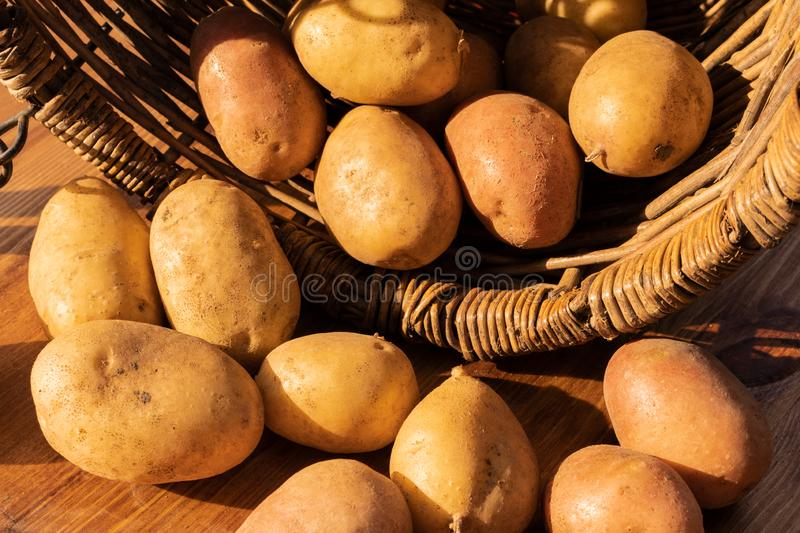 Potato tubers in a wicker basket. Potato tubers spilled from a wicker wooden basket lying on its side onto a brown wooden plank stock photography