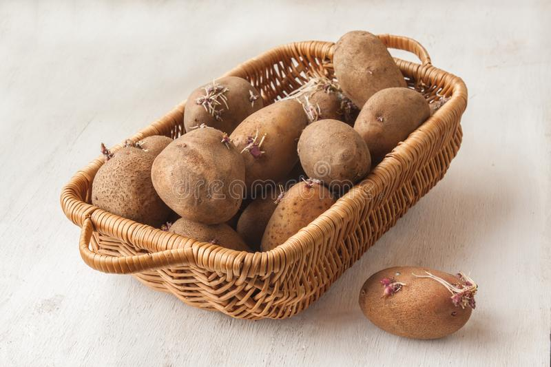 Potato tubers with sprouts in a basket stock photo
