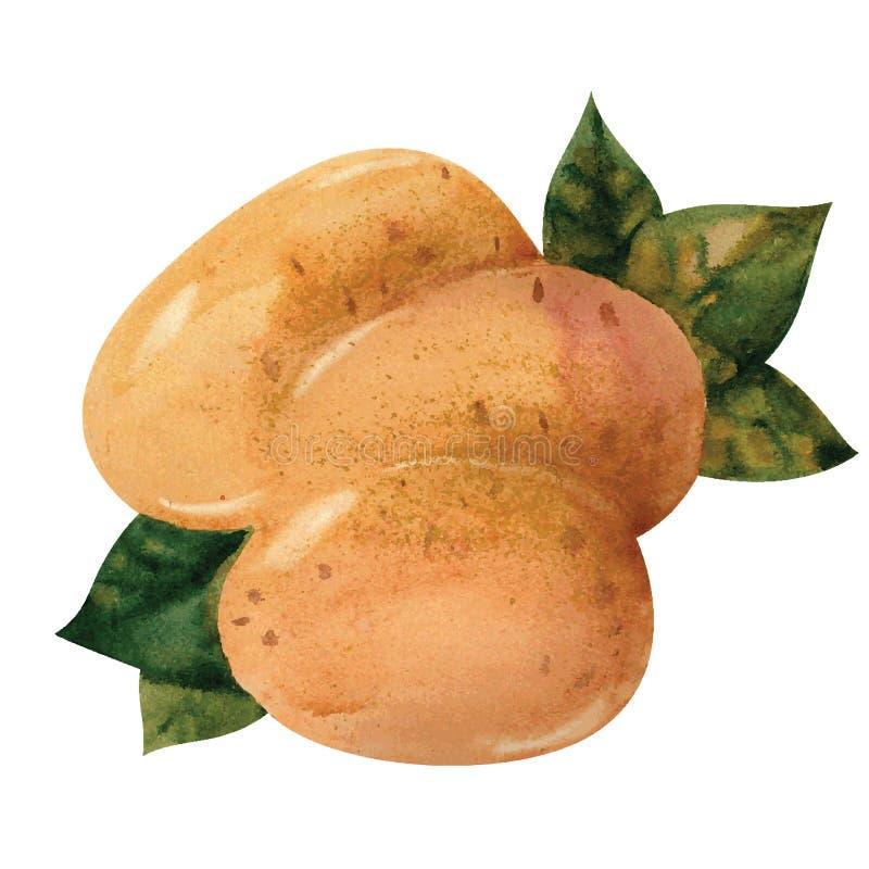 Potato vector illustration