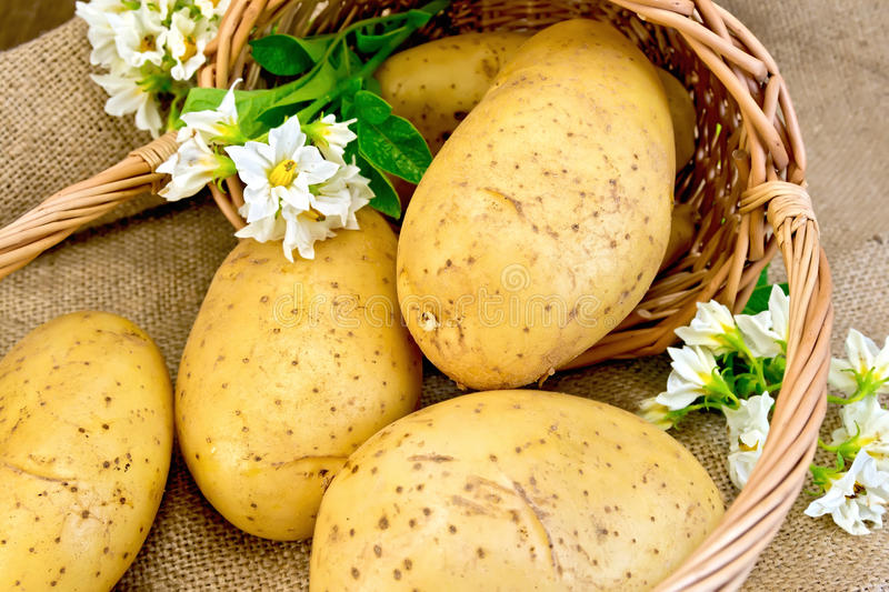 Potato yellow with basket and flower on sacking royalty free stock images