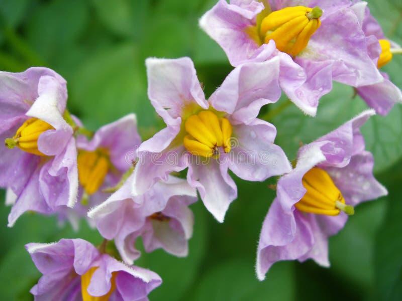 potato Yukon złoty kwiat fotografia stock