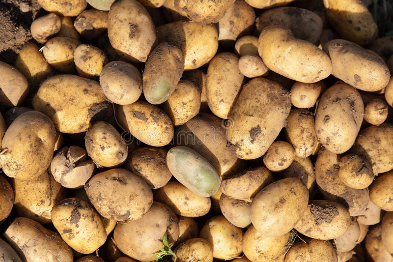 Download Potatoes stock photo. Image of pile, healthy, potato - 21015610