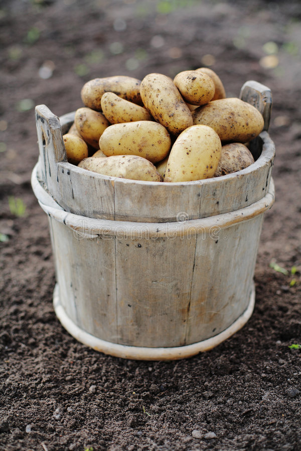 Download Potatoes stock photo. Image of vegetables, harvest, potato - 3794448
