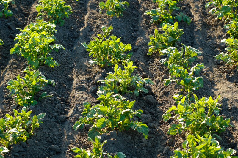 Download Potatoes stock image. Image of stem, beetle, agriculture - 5529809
