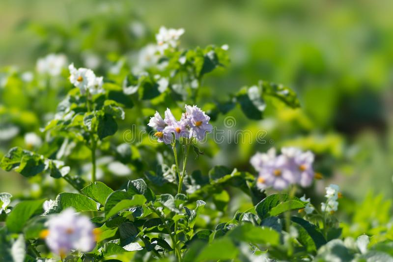 Potatoes are blooming with purple flowers during the growing season on a sunny summer day royalty free stock images