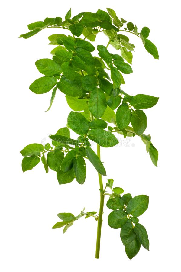 Potatoes bush isolated stock image