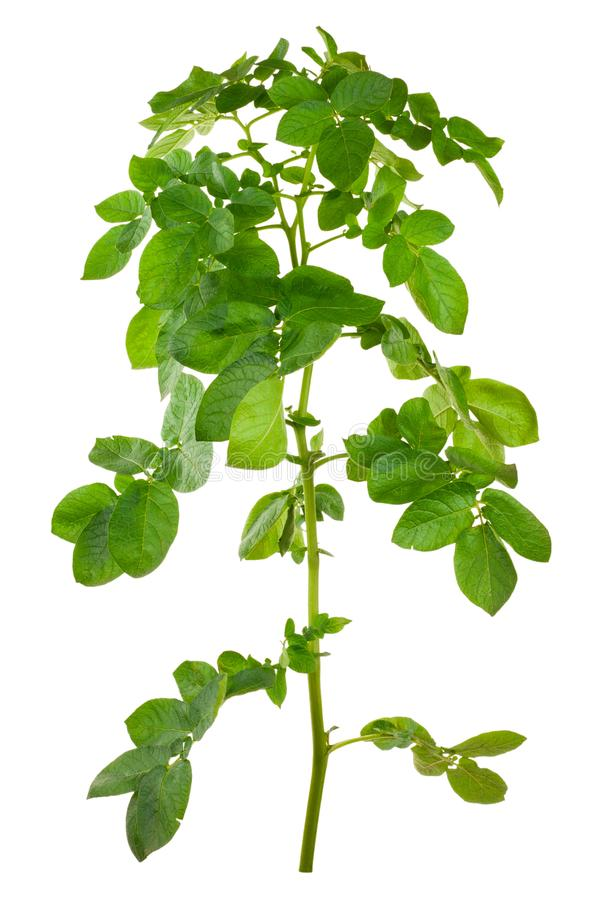 Potatoes bush isolated royalty free stock images
