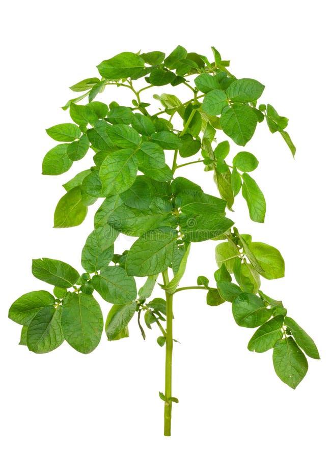 Potatoes bush isolated stock photo