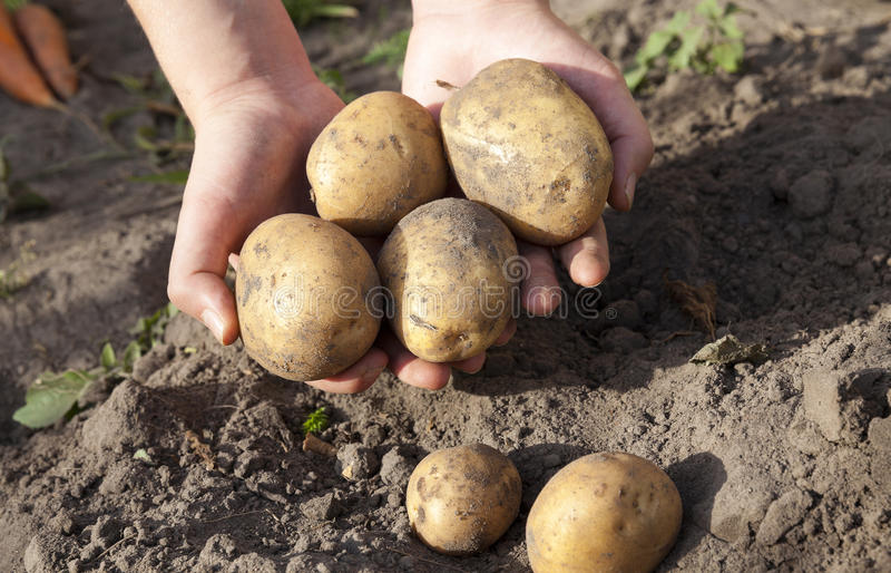Potatoes , close up,. Dug potatoes lying in the hands of a woman, close-up, small depth of field stock photos