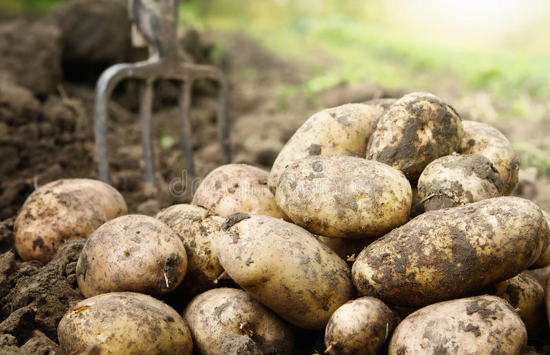 Potatoes in the field. Close up of fresh organic potatoes in the field