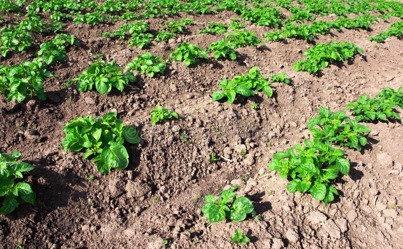 Potatoes field stock photos