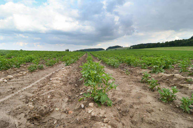 Potatoes field stock image