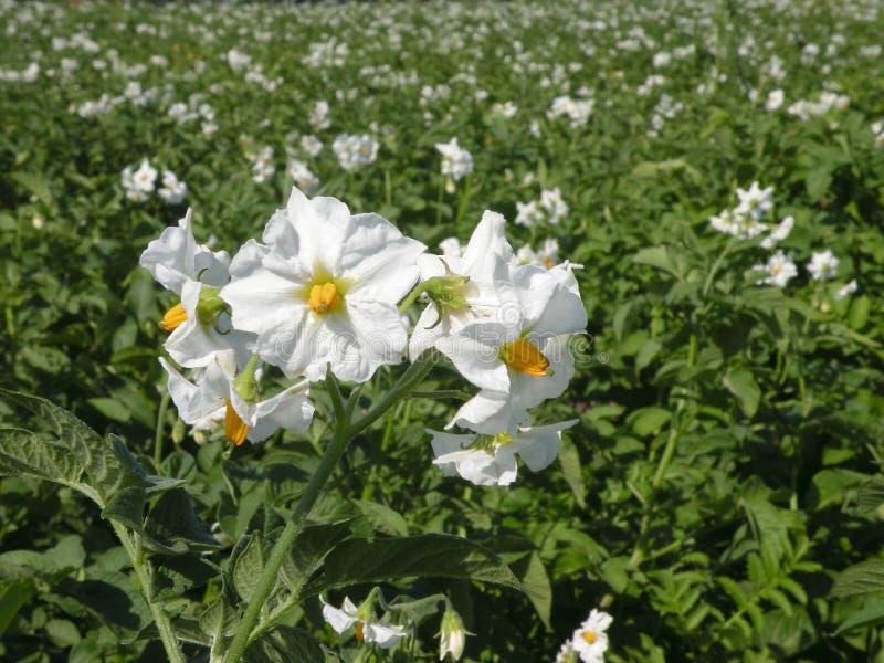 Potatoes flower stock photos