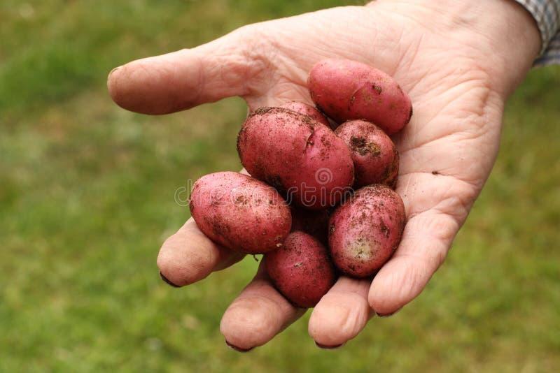 Potatoes fresh from the Garden stock photos