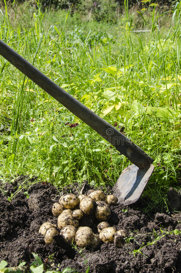 Potatoes freshly dug up from the soil stock photos