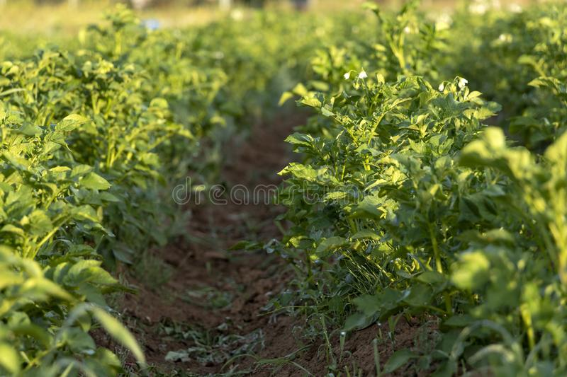 Potatoes green field with white flowers growing on organic farmers field royalty free stock photo