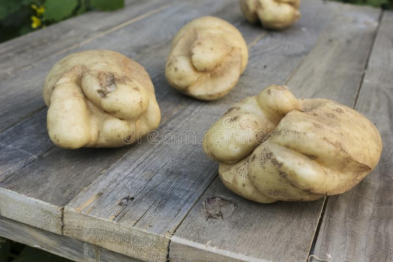 Potatoes lying on a table, cracked from an adverse summer. Season stock photo