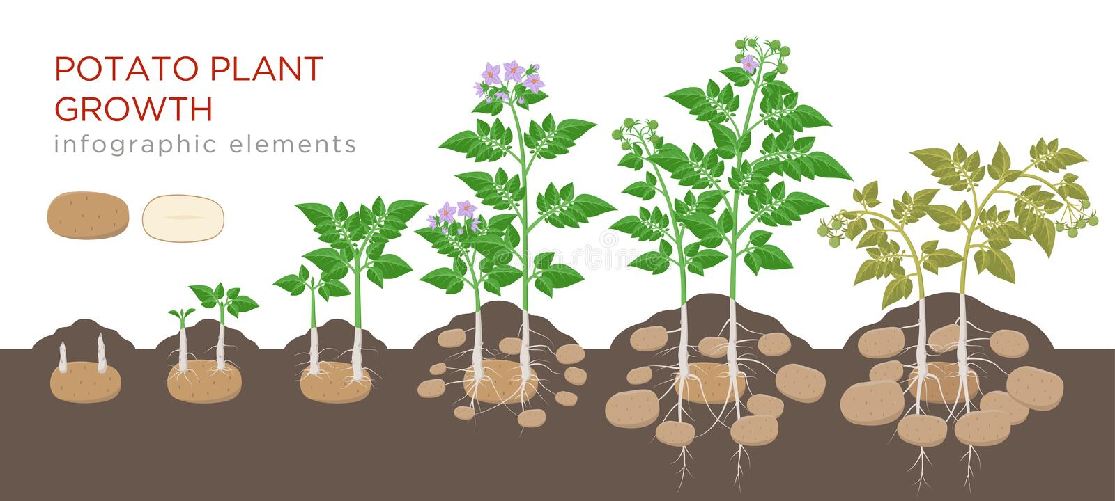 Potatoes plant growing process from seed to ripe vegetables on plants isolated on white background. Potato growth stages stock illustration