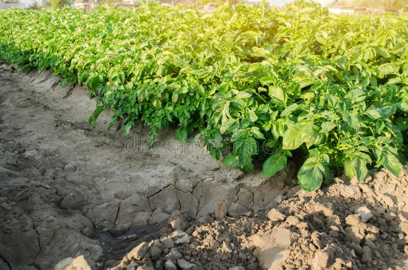Potatoes plantations grow in the field. Vegetable rows. Agricultural grounds. Crops Fresh Agriculture Farming Farm. Potato plant stock photo