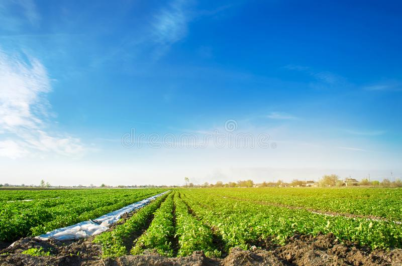 Potatoes plantations grow in the field. Vegetable rows. Farming, agriculture. Landscape with agricultural land. Fresh Organic. Vegetables. Crops stock photos