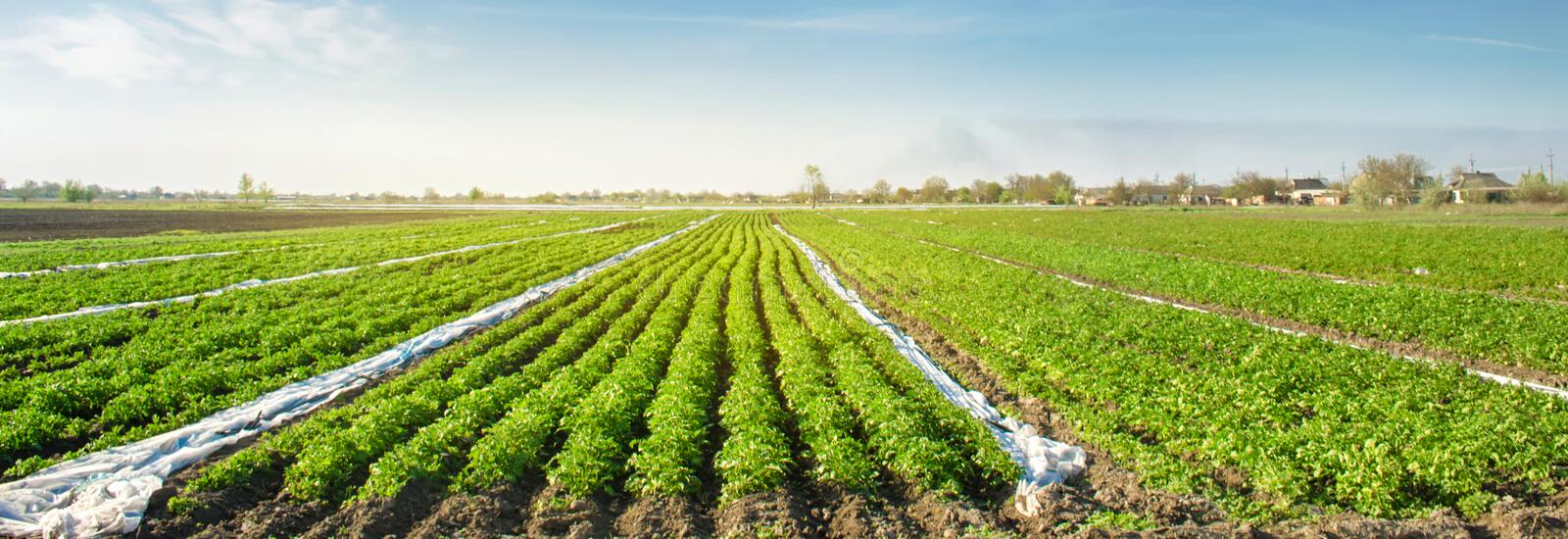 Potatoes plantations grow in the field. Vegetable rows. Farming, agriculture. Landscape with agricultural land. Fresh Organic. Vegetables. Banner. Selective stock images