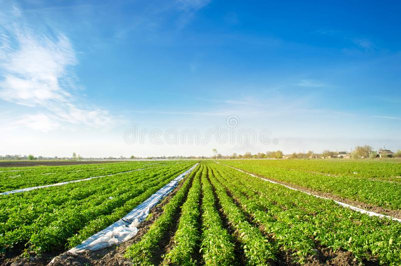 Potatoes plantations grow in the field. Vegetable rows. Farming, agriculture. Landscape with agricultural land. Fresh Organic. Vegetables. Crops. Selective royalty free stock photography